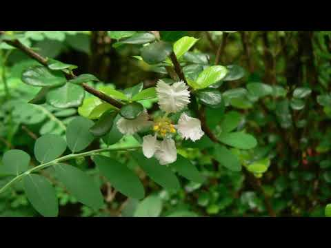 How to Plant Mirten Plant For Bonsai And Ornamental Plants For Beginners