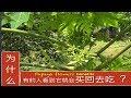 番木瓜花和葉子的好处。Unpleasant taste Of papaya flower or  young leaves,why some Malay like to buy ?