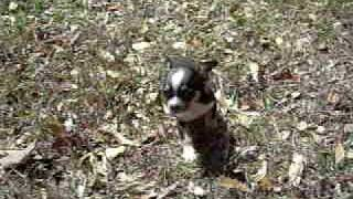 merle gene black/tan/white tri color puppy