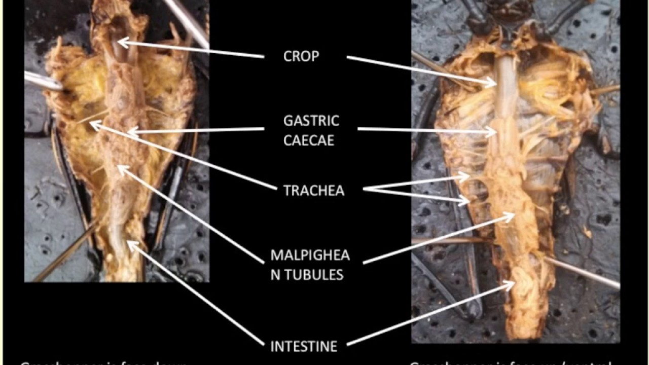 grasshopper anatomy - YouTube