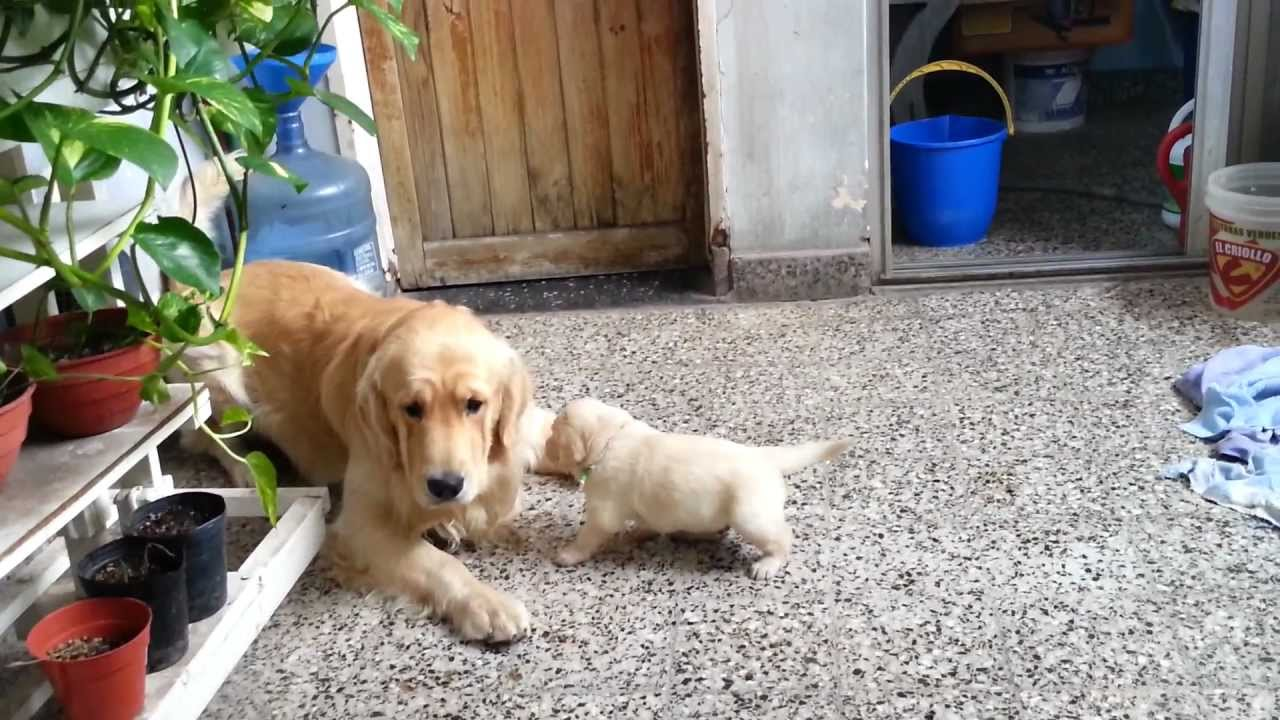 Find me a golden retriever puppy