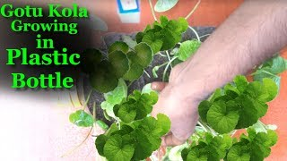 Gotu Kola Growing in Plastic Bottle   Best Herbs To Boost Memory & Improve Your Productivity  