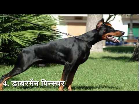 लडाई मे शेर का भी बाप है। ये कुत्ता   top 10 most dangerous dogs in the world.