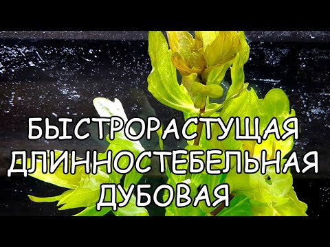 "МЕКСИКАНСКИЙ ТРИХОКОРОНИС ВАРИЕГАТНЫЙ. Shinnersia rivularis ""Weiss-Grun"""