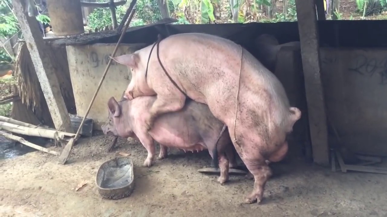 animal mating - Pig mating - YouTube