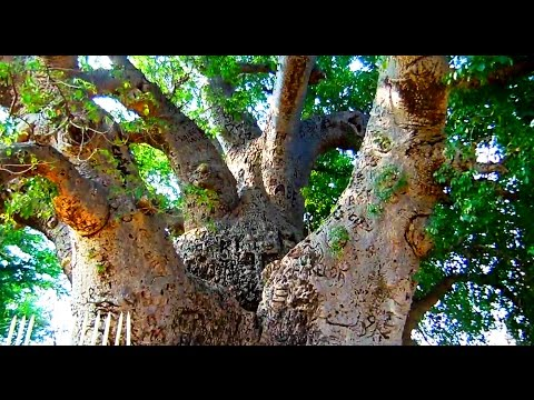 Oldest Baobab Tree in Hyderabad, India | HD Video