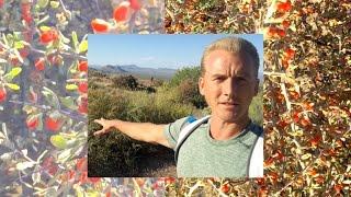 Goji Berries & Wolf Berries in Arizona