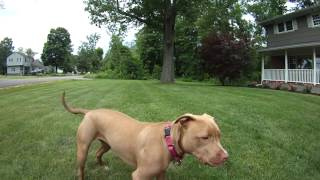 Bella The Wonder Dog! Rescued Pit Bull / Chocolate Lab Mix