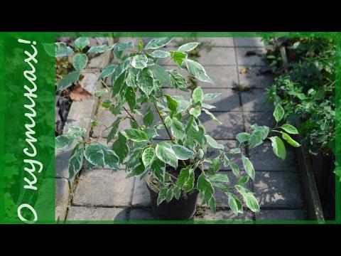 Дерен пестролистный Элегантиссима  - три  важных факта о нем. Какие кустарники посадить в саду.
