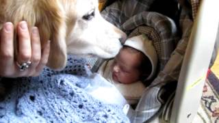 Golden Retriever Earl Meets Our Newborn Baby For The 1st Time