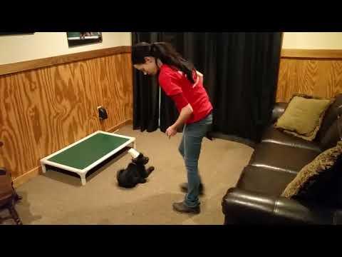 "Giant Schnauzer Puppy ""Quartz"" 9 Wks Early Training BAB Candidate For Sale"