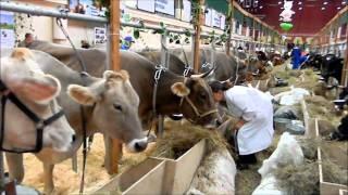 КРС  Обзорное видео  Золотая Осень 2010(Обзорное видео крупного рогатого скота на выставке Золотая Осень-2010 Москва. ВВЦ., 2010-11-02T10:17:20.000Z)