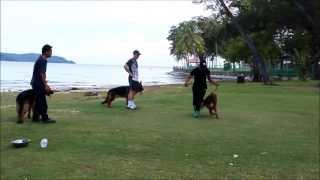 German Shepherd Dog Anjing Terlatih Di Pantai Tanjung Aru. Kota Kinabalu