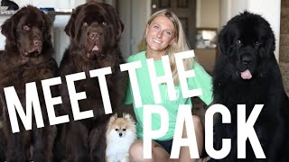 MEET THE PACK | MOLLY THE NEWFIE & CO