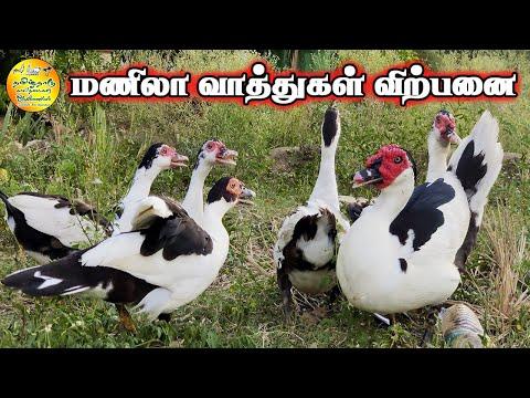 மணிலா வாத்துகள் விற்பனை   Manila Ducks For sale   Manila Duck Chicks   Tamilnadu Pets   Tamil