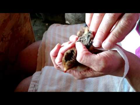 How to Make  Figure 8 Wing Bandage on Baby Chick With Angel Wing