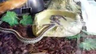 Sukkanauhakäärme herkuttelee :)