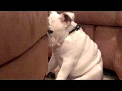 YOU'LL LAUGH ALL DAY LONG - Ultimate FUNNY and CUTE GUILTY DOGS