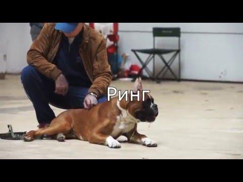 Ринг собак породы немецкий боксер