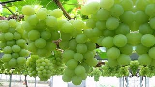 How To Harvest Grapes ?   Amazing Grapes Harvesting Technique