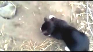 Кот охотник против ежа - Прикол / Cat Hunter vs. hedgehog - Fun
