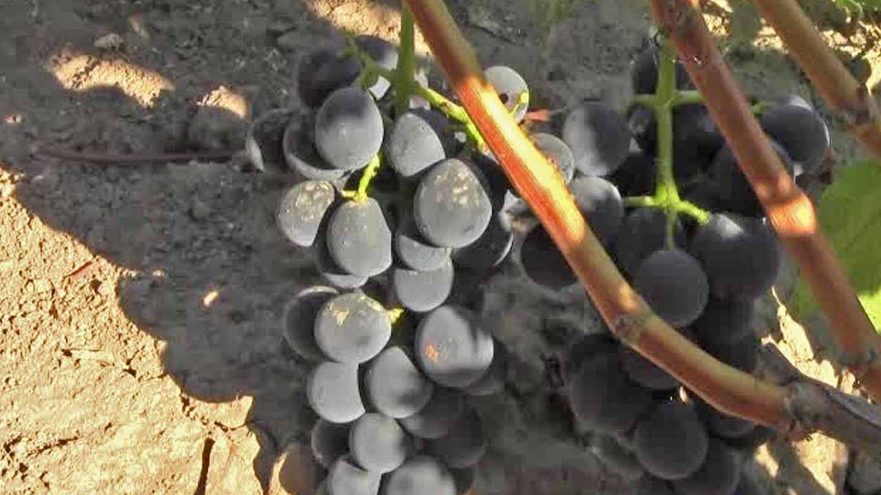 Купить саженцы винограда надёжного качества районированные для северных областей украины саженцы винограда украина виноградный питомник terroir терруар. Саженцы элитных сортов винограда (063) 975-00 -05, (097) 087-00-05.