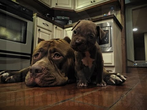 TOP 10! Dogs are so AWESOME! Pit bull life with THE HULK