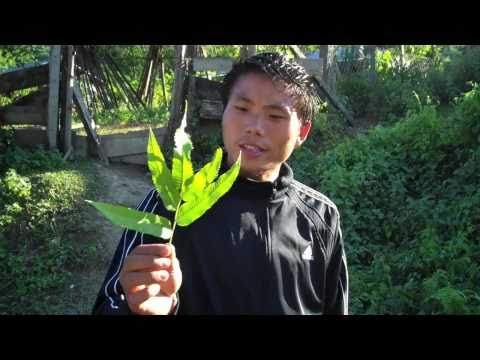 Koro Ethnobotany: 11 plants and their uses in Koro culture.