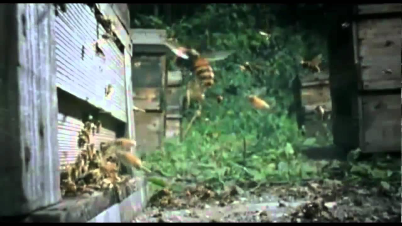 frelons asiatiques en guerre contre les abeilles europ enn youtube. Black Bedroom Furniture Sets. Home Design Ideas