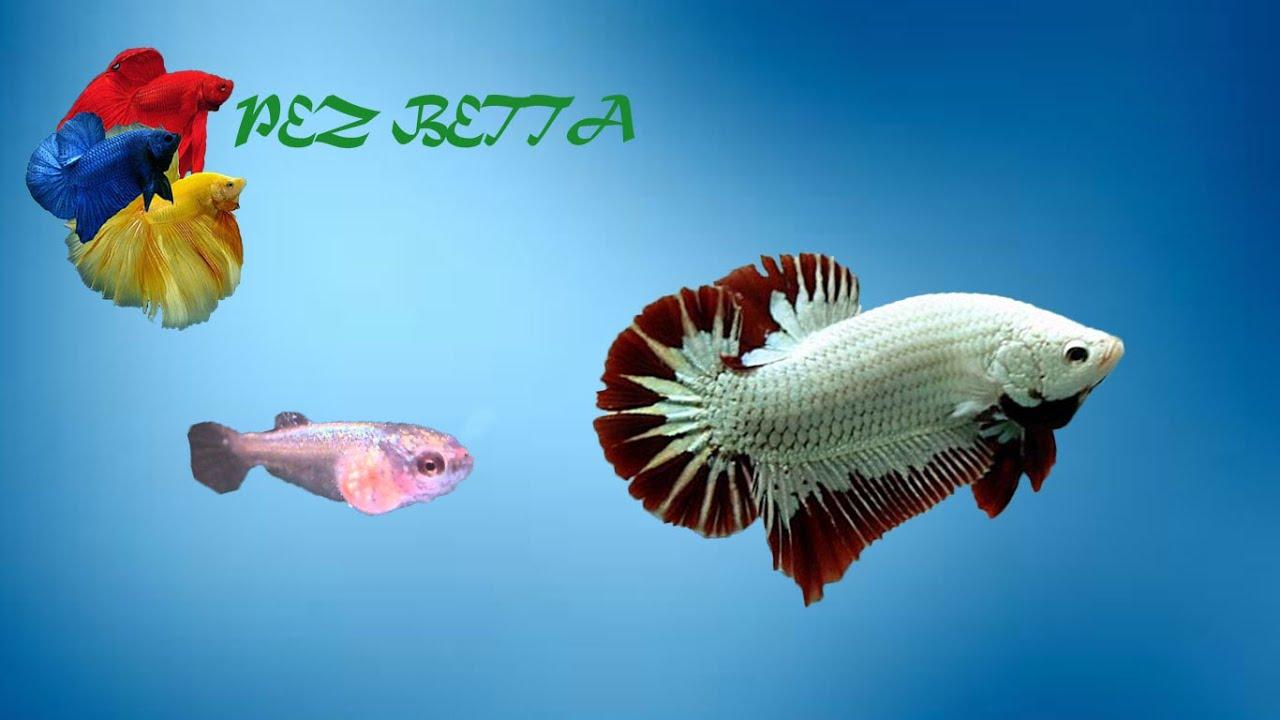 Pez betta tiempo estimado de vida youtube for Criadero de pescado