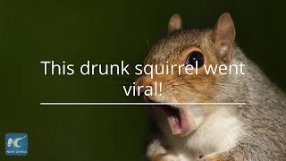 A squirrel who got drunk after eating a fermented pear has gone viral