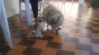 Pug Puppy Vs. Pomeranian