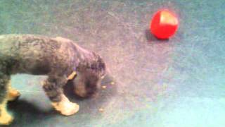 Buster Cube Dog Toy Demonstration
