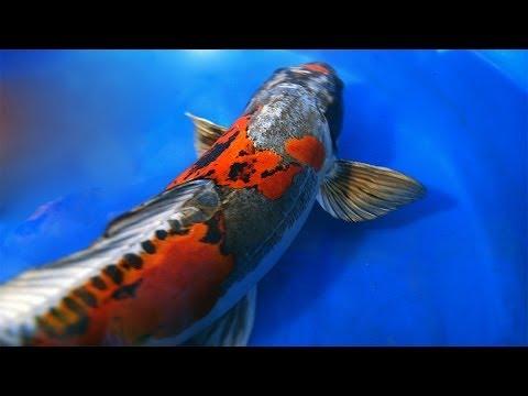 Dragon Koi Fish | Ki Kokuryu Koi