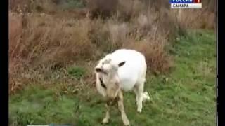 В селе Александровка  козел-производитель вдруг стал … дойным