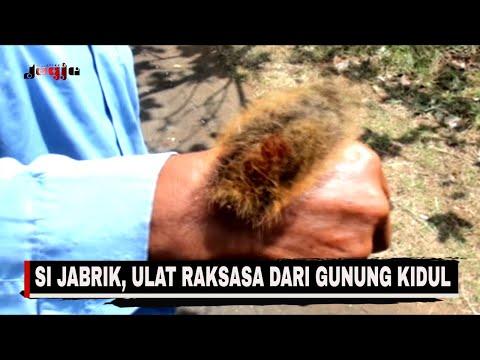 GELI MELIHAT  ULAT-ULAT BULU RAKSASA GUNUNG KIDUL!! || JOGJA MAGAZINE