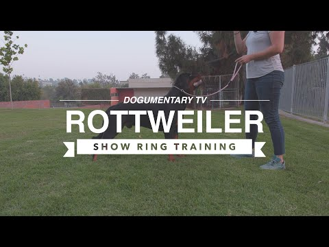 INTRODUCING ROTTWEILER TO SHOW RING TRAINING