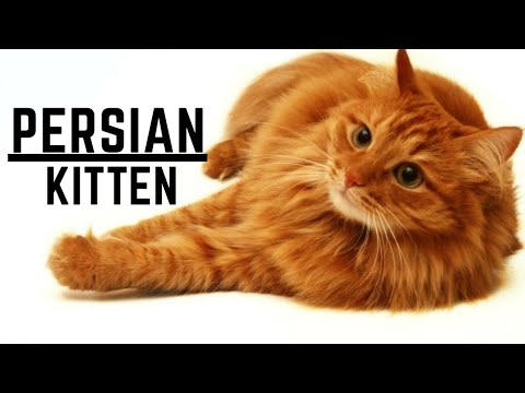 Very Cool and Cute Persian Cat into my Hobby...