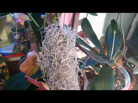 Видео Как вырастить орхидею из семян в домашних