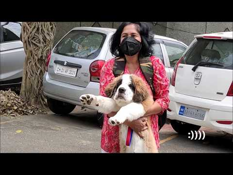 St. Bernard Puppy's INCREDIBLE GROWTH In TWO WEEKS Ll KEIKO'S DIARY
