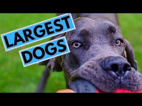 TOP 10 Largest Dog Breeds