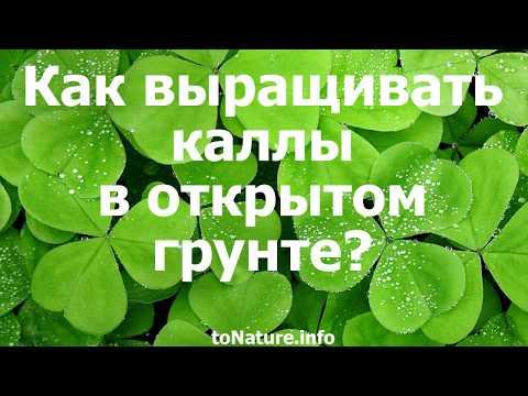 Как выращивать каллы в открытом грунте?