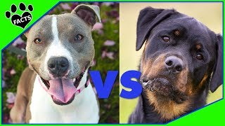 Rottweiler vs American Pitbull Terrier Dog vs Dog - Animal Facts