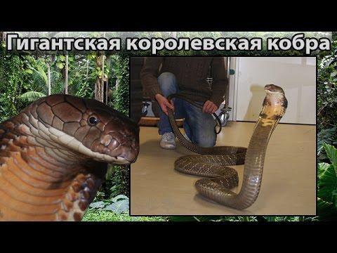 рабочий кобра картинки на стол королевская