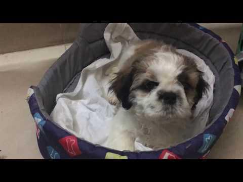 Adorable Shih Tzu Puppie | Soooo Innocent | Must watch