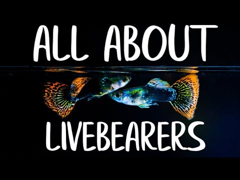 LIVEBEARER FISH - Guppy Fish - Platys - Endler Guppies - Mollies - Goodieds