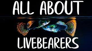 LIVEBEARER FISH - Guppy Fish - Platys - Endler Guppies - Mollies - Goodieds thumbnail
