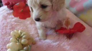 ダックスフンドとトイプードルのミックス犬「ダップー」の子犬動画です...