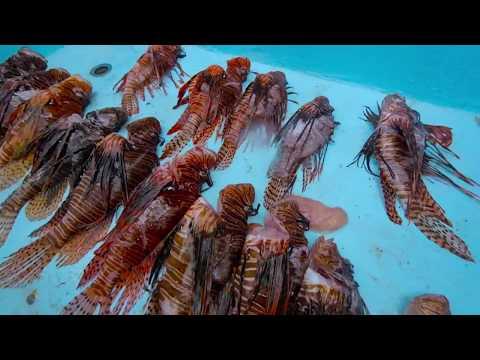 Lionfish Hunt Curacao!