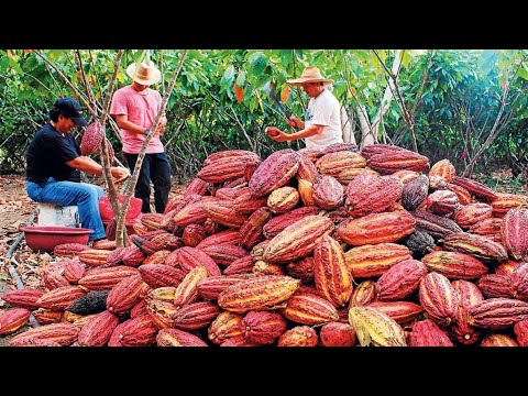 Cocoa Fruit Harvesting - Cocoa bean Processing - Cocoa Processing To Make Chocolate in Factory